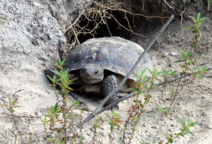 The best shot I've gotten of one of these tortoises, taken just recently.