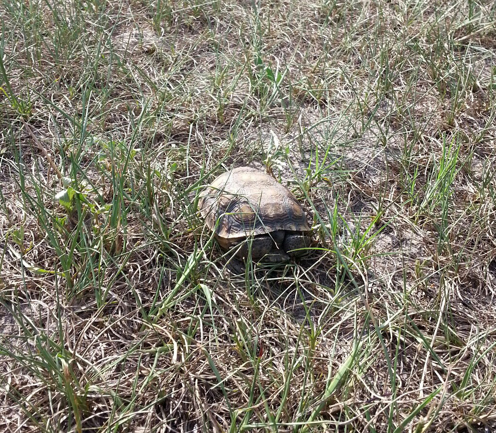 how to tell the age of a gopher tortoise