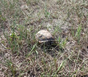Youngest gopher tortoise I've seen yet. He/she may only be a few years old.