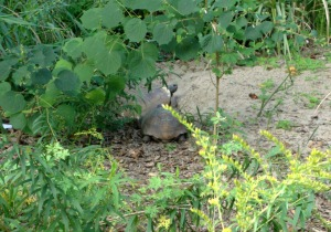 Possibly a male visiting a female burrow just a few yards from his.