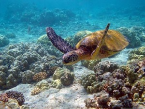 green_sea_turtle_1