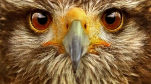 animal-animals-background-bird-birds-brown-eyes
