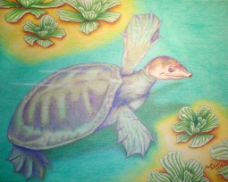 "Florida Softshell 11"" x 14"" More than once I have found myself rescuing these turtles from roads while crossing to other ponds. They have such a unique look and I wanted to do something with this species. I barely see them in artwork. I especially love the ""spying"" behavior they have when investigating something at the water's surface."